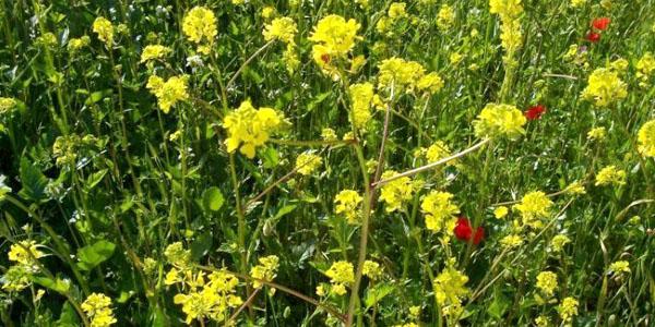 Senape for Ocra pianta